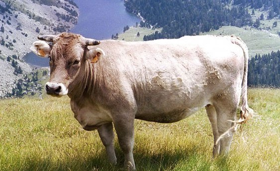Bull-recreation and tourism